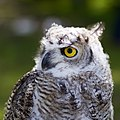 OWL (6017938429).jpg