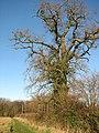 Oak tree in hedgerow - geograph.org.uk - 1614897.jpg