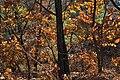 Oaken Forest in autumn (Sikhote-Alin).jpg