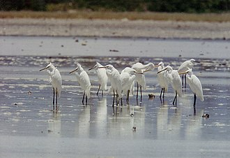 Chinese egret - Chinese egrets at the Olango Island Group, Philippines.