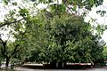 Old Banyan Tree, Aitchison College.jpg