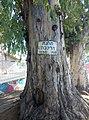Old euqaliptus trees Lod old railway station.jpg