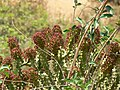 Oleander-leaved Spurge (463137841).jpg