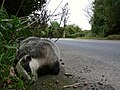 One dead badger on A361 just north of Knowle - geograph.org.uk - 1510870.jpg