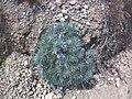 Onosma polyphylla 79431358.jpg