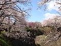 Ookusa joushi parking sakura.jpg