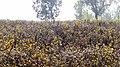 Ooty Flowers - panoramio.jpg