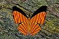 Open wing position of Chersonesia risa Doubleday, 1848 – Common Maplet (Wet season form) WLB DSC 0937.jpg