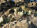 Opuntia rufida (5730684300).jpg