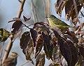 Orange-crowned Warbler (31796182668).jpg