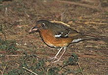 Orange Ground-Thrush 2008 09 14 07 07 15 1026.jpg