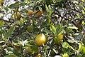 Oranges... - panoramio.jpg