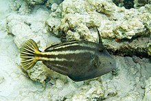 Orangespotted filefish Cantherhines pullus (3475245666).jpg