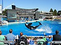 Orca back flip at Sea World San Diego, California, Apr 11.jpg