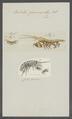 Orchestia gammarellus - - Print - Iconographia Zoologica - Special Collections University of Amsterdam - UBAINV0274 098 01 0002.tif