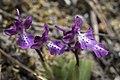 Orchis anatolica, Crete 06(js).jpg