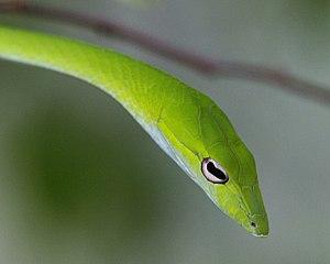 Ahaetulla prasina - Image: Oriental whip snake (Ahaetulla prasina) Flickr Lip Kee