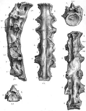 Ornithodesmus - Illustration of the sacrum in multiple views