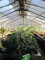 Orto botanico, fi, serretta felci (cicadee) 07.JPG