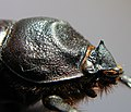 Oryctes nasicornis 1378.JPG