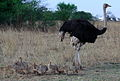 Ostrich or Common Ostrich (Struthio camelus) at Rietflei early morning, male and female with a gaggle of young. (10088025713).jpg