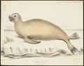 Otaria hookeri - 1700-1880 - Print - Iconographia Zoologica - Special Collections University of Amsterdam - UBA01 IZ21100051.tif