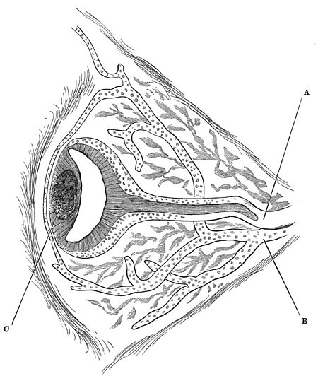 PSM V33 D806 Pineal eye in varanus giganteus.jpg