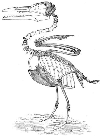 psm v36 d400 restored ichthyornis victorjpg