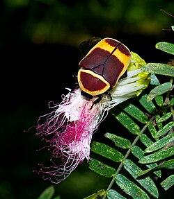 Une cétoine marginée, en train de manger du pollen, sur une fleur, au Kenya