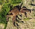 Pachygrapsus marmoratus 2012 G2.jpg