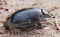 Pachylister inaequalis side.jpg