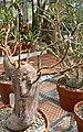 Pachypodium succulentum 1.jpg