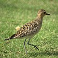 Pacific Golden Plover (11989261765).jpg