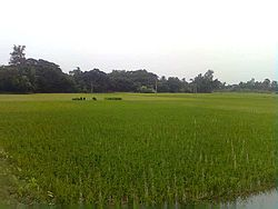 Paddy field at Daisai
