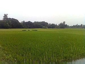 Contai III - Paddy field at Daisai