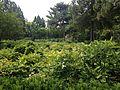 Paeonia suffruticosa in Jingshan Park 3.jpg