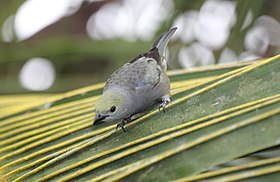 Palm Tanager (Thraupis palmarum) (5772339668).jpg