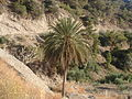 Palm tree Arvi.JPG