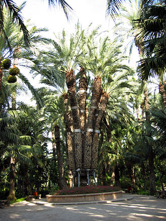 """Palmeral of Elche - The """"Imperial Palm"""" (Palmera Imperial) in the Hort del Cura."""
