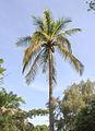 Palmtree in Gambia.jpg