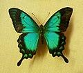 Papilio lorquinianus-Musée zoologique de Strasbourg.jpg
