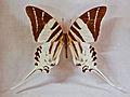 Papilionidae - Graphium androcles.JPG