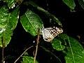 Parantica aglea aglea – Coromandel Glassy Tiger - Mugilu 10.jpg
