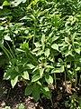 Paris polyphylla kz03.jpg