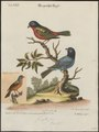 Passerina ciris - 1700-1880 - Print - Iconographia Zoologica - Special Collections University of Amsterdam - UBA01 IZ16000247.tif