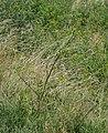 Pastinaca sativa subsp. urens plant (02).jpg