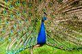 Peacock (26409923420).jpg