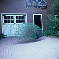 Peacock in front of Town Hall at Lagoon Amusement Park in Farmington, Utah.jpg