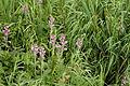 Pedicularis nipponica 03.jpg