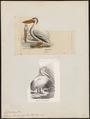 Pelecanus trachyrhynchos - 1700-1880 - Print - Iconographia Zoologica - Special Collections University of Amsterdam - UBA01 IZ18000169.tif